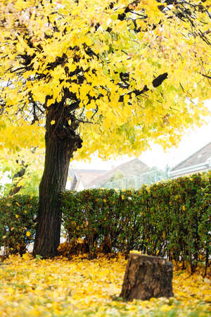 Single deciduous tree with falling yellow leaves in late autumn.