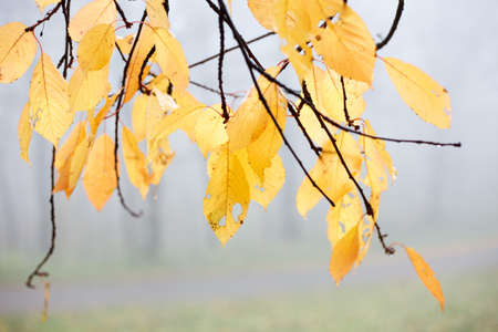 Vibrant yellow autumn leaves hanging from branches on a foggy day.