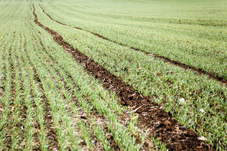 Young wheat or oat field in late autumn and early winter. Green plants growing before snowfall