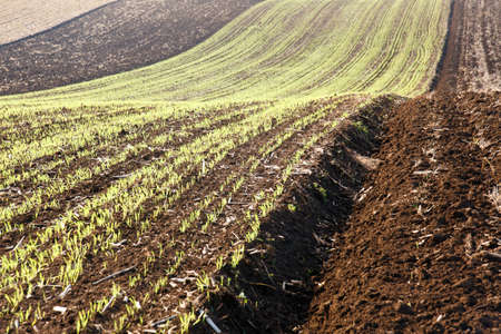 Young wheat or oat field on a rolling hillside in late autumn and early winter. Green plants growing before snowfall Standard-Bild