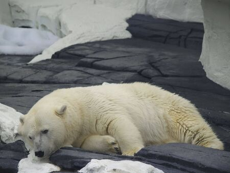 A large polar bear relaxes on the rocks above the water