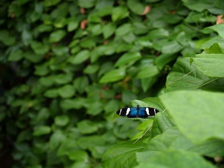 The Sara Longwing (Heliconius sara) butterfly common to Costa Rica with a bright metallic blue center, black wings with white stripes.