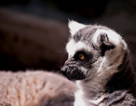 Profile of a young ring-tailed lemur in the sun