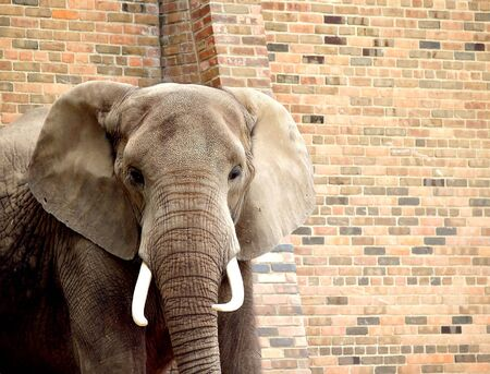 African elephant looks curious while standing in front of a brick wall at the zoo