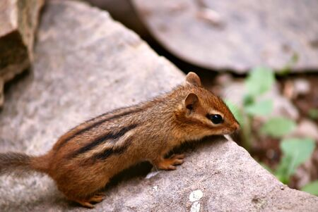 Little chipmunk peers over the edge of the rock before he makes his next move