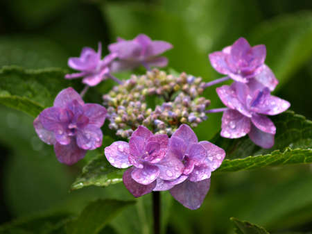 Ring of Hydrangea flowers in pink and purple Stock Photo