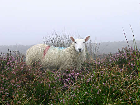 Irish sheep stands alert amongst the tall grasses and heather in the mist