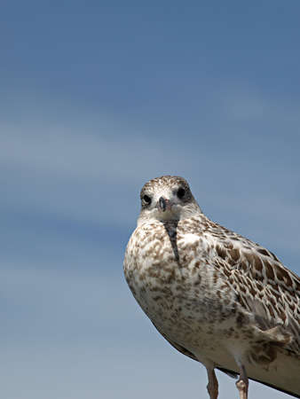 A brown and white gull watches curious against a hazy blue sky Stock Photo