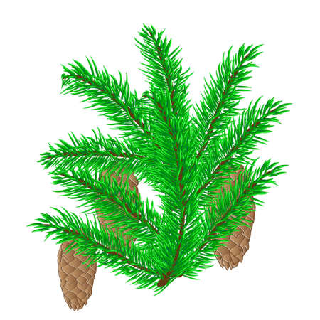 spruce: spruce branch with cones isolated, background, winter Illustration