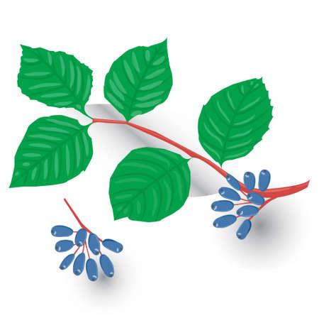 chokeberry: choke berry, isolated on white background