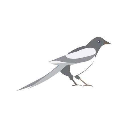 magpie: Magpie bird. illustration of a black and white bird