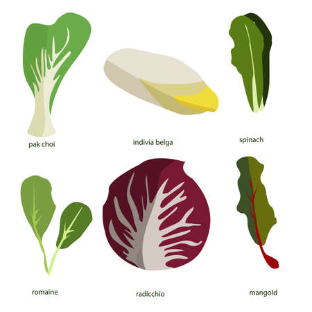 Collection of green plants. Bundle of tasty vegetables and salad leaves isolated on white background. Delicious healthy vegan or vegetarian food. Colorful vector illustration in flat cartoon style.