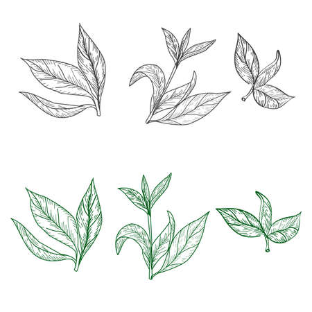 Set of tea leaves on a white background in the style of engraving. For wedding decor, postcards and textiles, vector illustration