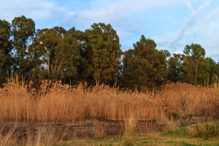 Reeds and trees in spring under blue and cloudy sky Stock Photo