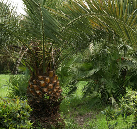 subtropical: Magnificent palm trees densely grow in a subtropical wood