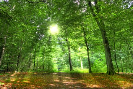 Wczesnym rankiem słońce w lesie