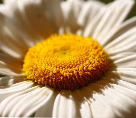 A close-up and very detailed photo of a chamomile flower photo