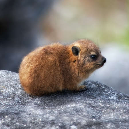 Baby Capy Hyrax or Dassie or African Badger on Table Mountain, Cape Town, South Africa  photo