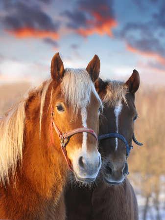 caballo: Hermoso caballo - con cielo y bosque marrón como fondo  Foto de archivo