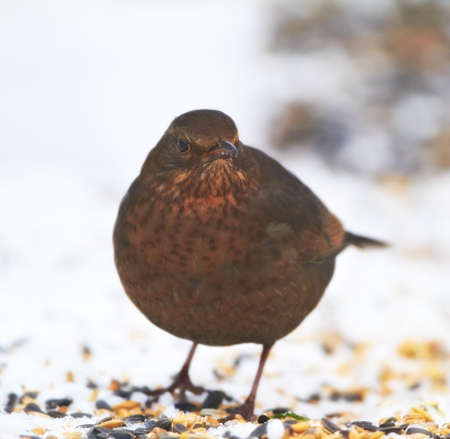 A beautiful Blackbird in wintertime - snow and cold photo