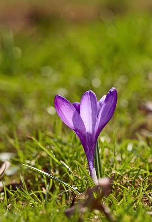 A photo Crocus - purple flowers in springtime photo