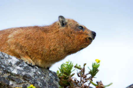 Capy Hyrax or Dassie  or African Badger on Table Mountain, Cape Town, South Africa photo