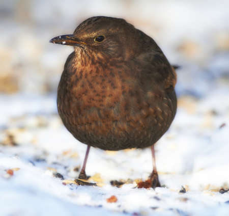 Blackbird in wintertime and sunshine Stock Photo - 7351848