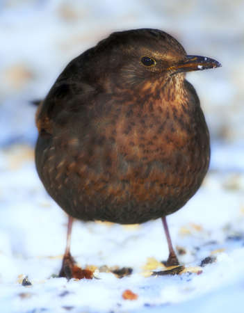 A telephoto of a female blackbird in wintertime photo