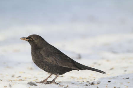 Blackbird  photo