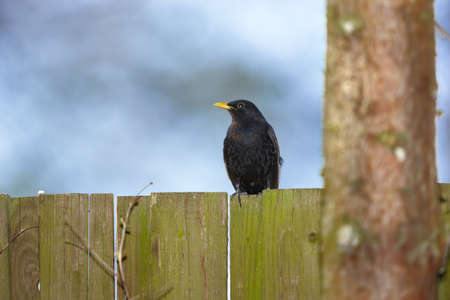 Blackbird in summertime - room for text photo