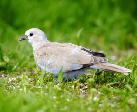 turtle dove: Dove walking on green grass looking for food