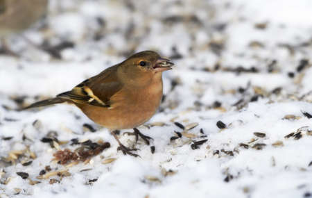 warble: Chaffinch. Beautiful garden bird in Europe, incl. Denmark.snow and cold weather