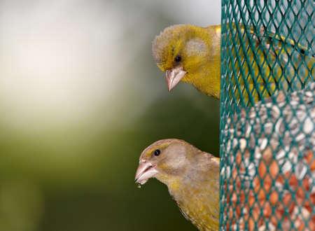 Carduelis chloris - Greenfinch. Pi?kne ptak ogrodu w Europie, w tym w Danii