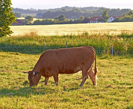 A typical a typical brown cow photo
