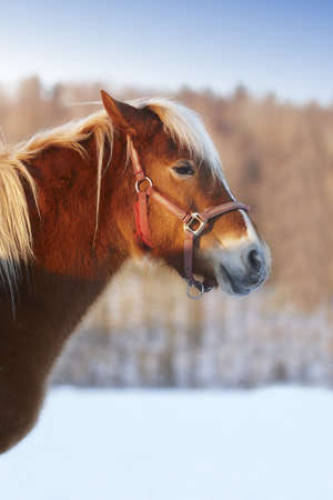 winterday: A young brown horse on a sunny winterday
