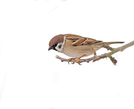 Beautiful brown garden sparrow with uniform background photo