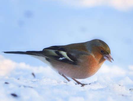 warble:  Chaffinch. Beautiful garden bird in Europe, incl. Denmark