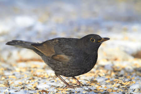 Male Blackbird in wintertime and sunshine photo