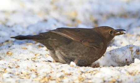 Female Blackbird  in wintertime in the garden photo