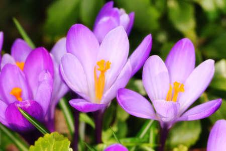 Crocus - purple flowers in springtime photo