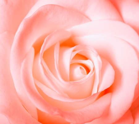 A soft pink rose photo