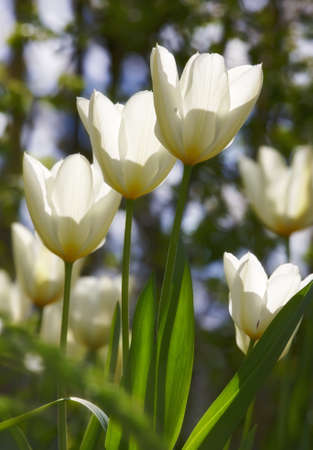 a beautiful white tulips in the garden in early springtime Stock Photo - 7464981
