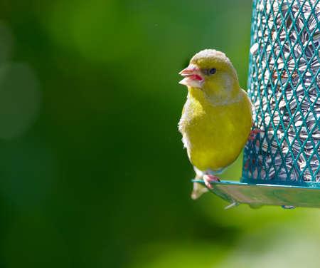 Carduelis chloris - Greenfinch. PiÄ™kne ogród ptaka w Europie, w tym Danii Zdjęcie Seryjne
