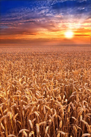 harvest time: A photo of Sunset at the countryside, denmark - time for harvest
