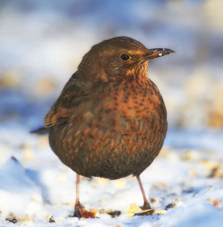 Female Blackbird in wintertime and sunshine photo