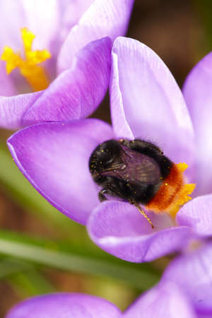 A photo Crocus - purple flowers in springtime AND a bumble bee photo