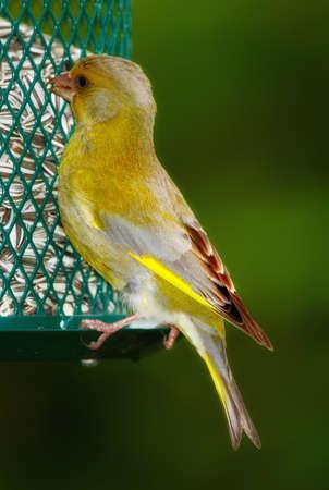Carduelis chloris - Greenfinch. Piękne ptak ogrodu w Europie, w tym w Danii