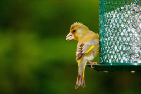 Carduelis chloris - Greenfinch. Piękne ogród ptaka w Europie, łącznie z Danii