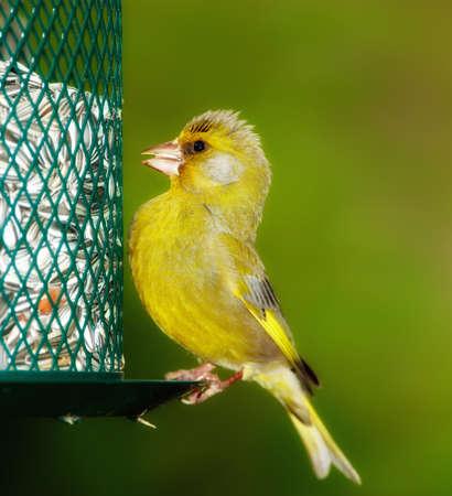 Carduelis chloris - Greenfinch. PiÄ™kne ogród ptaka w Europie, Å'Ä…cznie z Danii Zdjęcie Seryjne