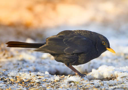 Blackbird in wintertime and sunshine photo